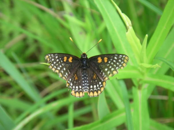 This Baltimore Checkerspot is chilling on the leaf of a New England aster at Paint Creek Heritage Area - Wet Prairie.