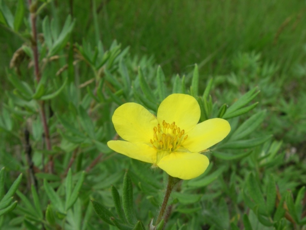 Shrubby cinquefoil (Dasiphora fruticosa) is a low shrub that is found in open, wet ground in high quality natural areas.