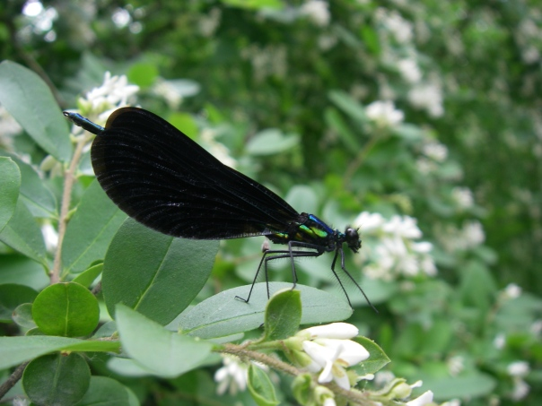 This ebony jewelwing uses the hairs on its legs to catch flies for its next meal.