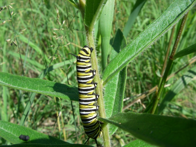 This monarch caterpillar is feeding on the orange-flowered butterfly milkweed. As the larva feeds on the milkweed, it gets toxic chemicals that it uses to protect itself from most predators.