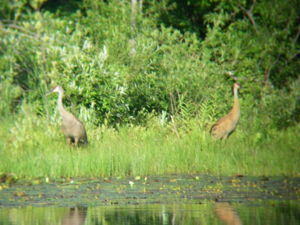 I took this blurry picture of the sandhill cranes through my binoculars.