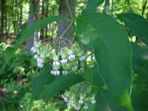 Unlike most milkweed, poke milkweed can grow in fairly shady areas. We also have this one in the gardens in front of the Paint Creek Cider Mill.