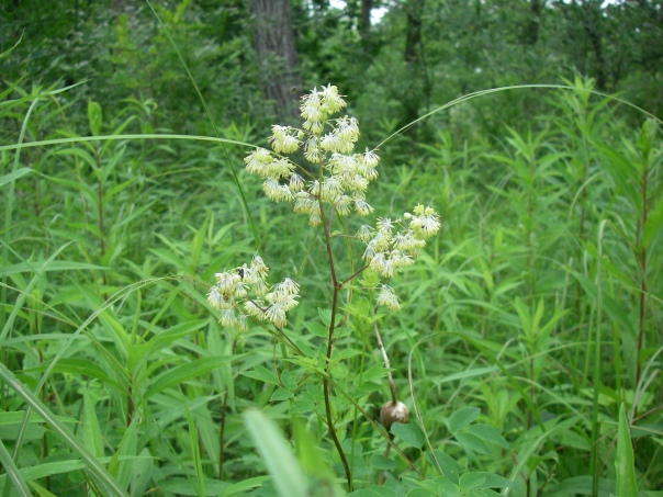 Purple meadow-rue is blooming now in many wetland areas, so keep your eyes open for its unique flowers!