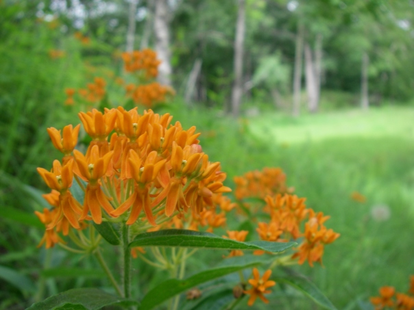 The grand finale, this milkweed takes the show. A beautiful milkweed for your garden, this species form clumps instead of spreading widely.