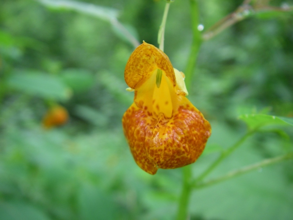 Orange jewelweed has beautiful flowers, with red spots on the orange flower.