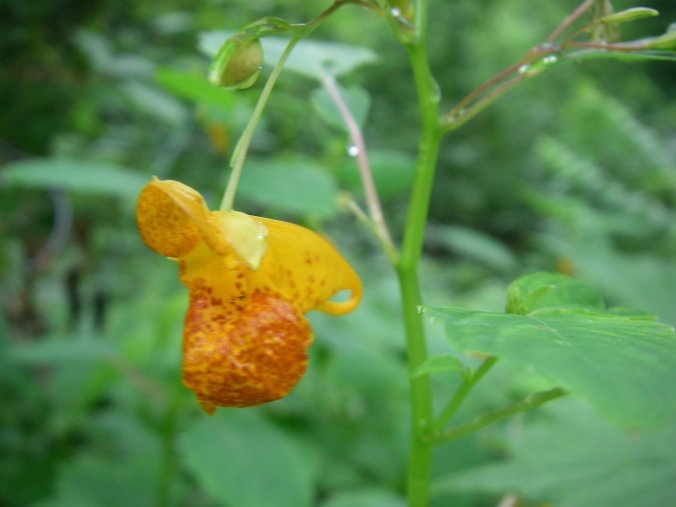 The spur on an Orange Jewelweed flower. The picture is fuzzy, but you can get the idea.