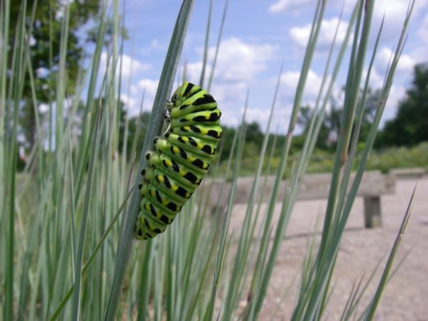 A swallowtail caterpillar I found in the native plant beds in the parking lot at Marsh View Park this morning.