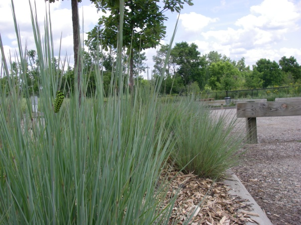 A wider view of the native plant bed in the Marsh View parking lot. This bed has an attractive native bunchgrass, little bluestem. Can you find the caterpillar?