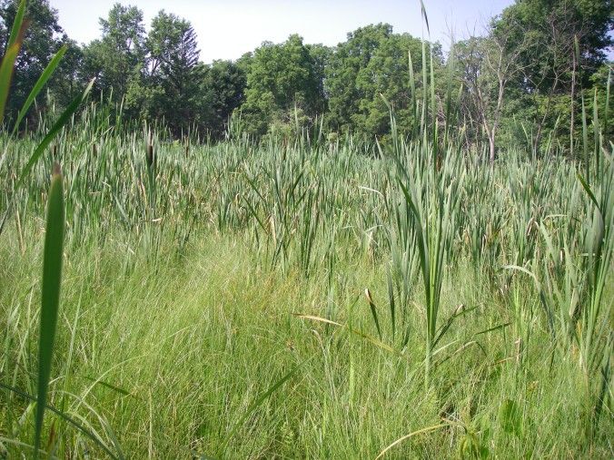 The emergent marsh in the center of O'Connor Nature Park has a floating mat. I found two types of cattail (Typha latifolia and angustifolia), tussock sedge (Carex stricta), lake sedge (Carex lacustris), marsh fern (Thelypteris palustris), and a few other plants out on the mat.