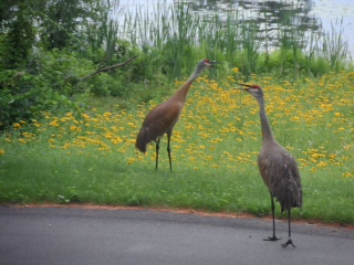 Sandhill cranes on the shores of Lost Lake Nature Park.