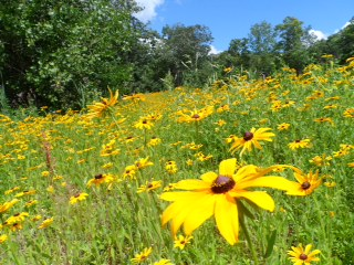 As part of the re-design of the sledding hill and waterfront at Lost Lake Nature Park in 2013, the fresh soil was seeded with a mix of native plant species. Fast-growing species, like black-eyed susans, put on a great show this summer.