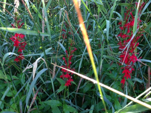 Cardinal-flower (Lobelia cardinalis) shows off its bright red colors in a moist area at Bear Creek Nature Park.