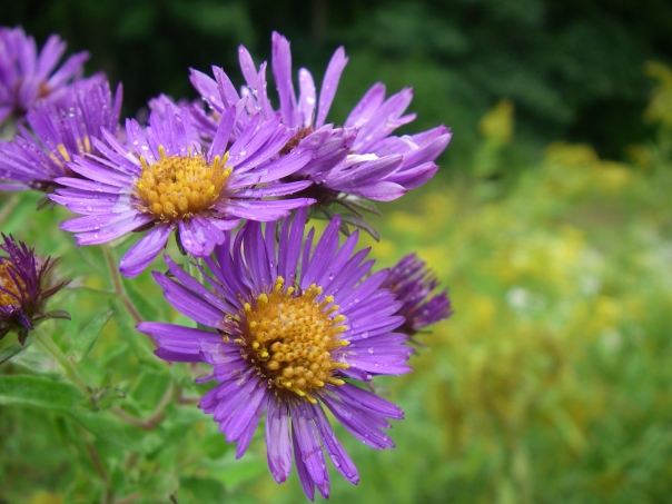 Close-up of New England aster flowers at Draper Twin Lake Park.