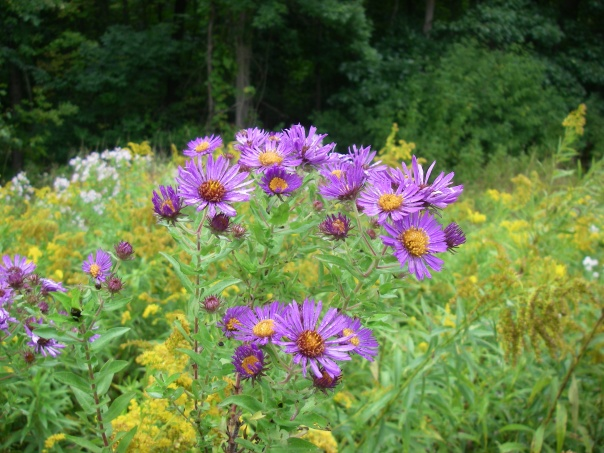 New England Aster (Symphotrichum novea-angliae) in the fields at Draper Twin Lake Park.