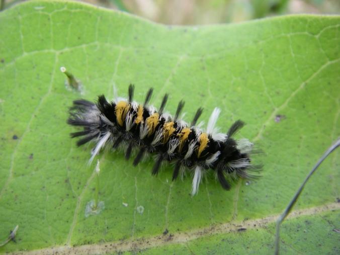 Milkweed tussock moth caterpillar (Euchaetes egle).
