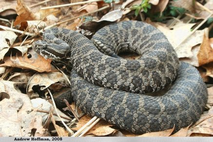 Eastern Massasauga Rattlesnake. Photo by Andrew Hoffman CC BY-NA-ND 4.0. No changes were made to the photo.