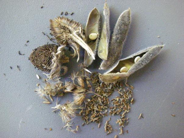 The primary function of fruits is the help seed dispersal. For example, wild lupine fruits (top right) throw the seeds away from the parent plant, while the pappus (fluff) of joe-pye weed (bottom left)  helps with wind dispersal.