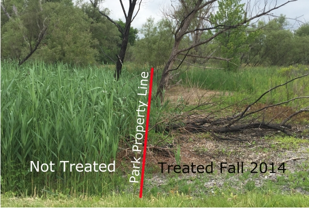 Phragmites does not recognize property boundaries! Catch your Phragmites while it is small and easy to control for the best results.