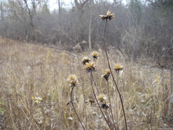 Seed heads of perennial sunflowers (Helianthus sp.). Sunflowers feed wildlife - birds have already eaten the seeds from these plants.
