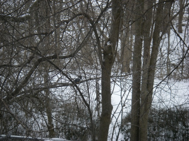 If you look closely, you'll see the belted kingfisher that I spotted perched on a branch above Paint Creek on January 8, 2015.