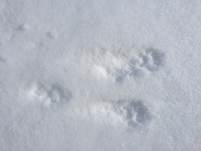 Rabbit tracks in the snow. A nice article about distinguishing rabbit tracks from squirrel tracks can be found here: http://www.natureskills.com/tracking/rabbit-tracks-and-sign/