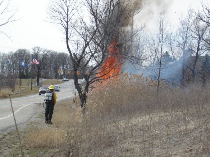 One of our major objectives for the prescribed burn is to remove dead Phragmites from areas that we treated last fall. This will help native plants re-establish and help us re-treat any Phragmites that re-sprouts this year.