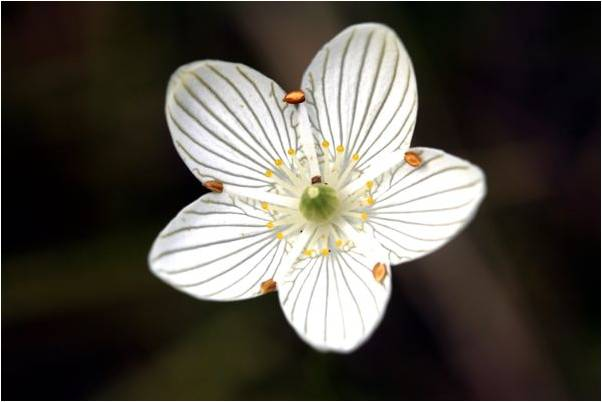 Grass of Parnassus, a beautiful wildflower that grows in wet prairie in Oakland Township. Photo by Cam Manino.