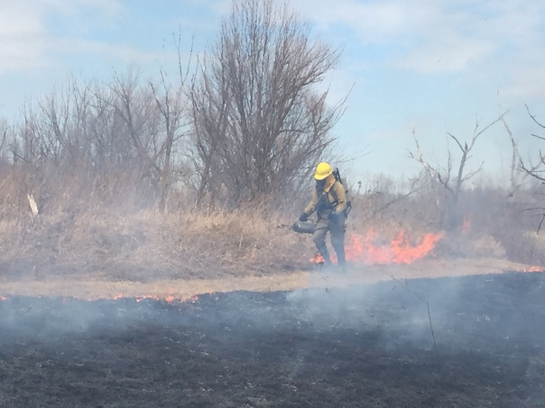 Spreading fire with a drip torch at Gallagher Creek Park on Friday, March 20, 2015.