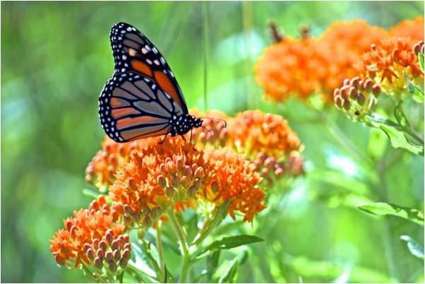 A monarch butterfly on butterfly milkweed. Photo by Cam Manino.