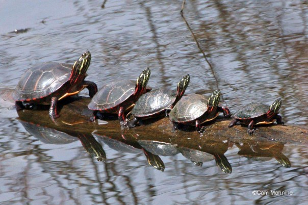 Five turtles line up on a log at Bear Creek Nature Park.