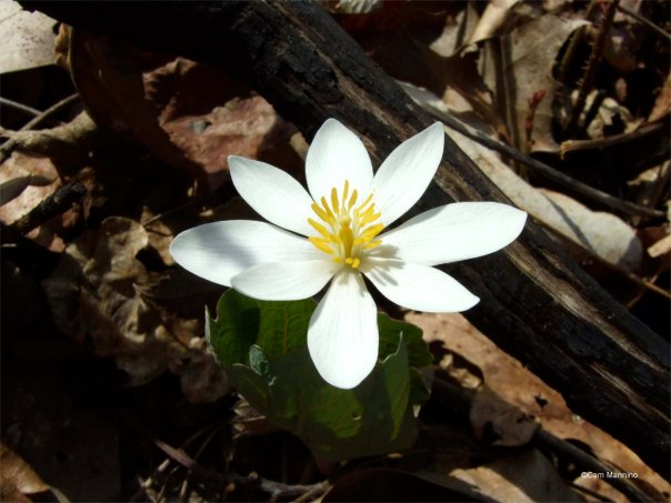 The flower of blood root fully open.