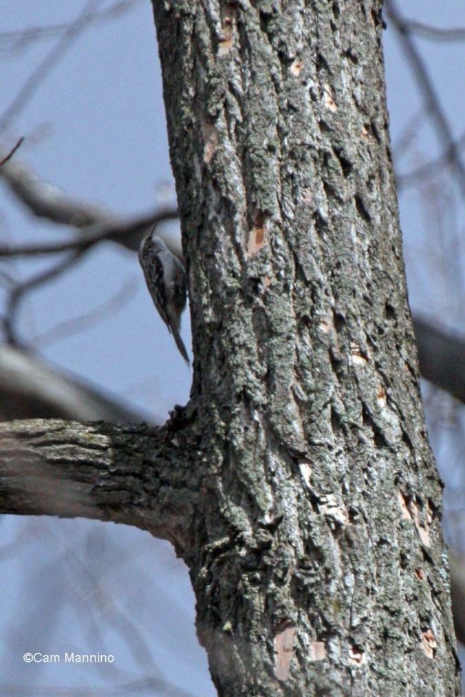 Brown creeper at Bear Creek