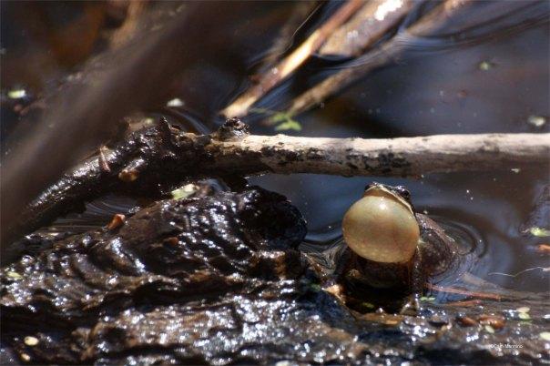 Chorus frog mid cheep
