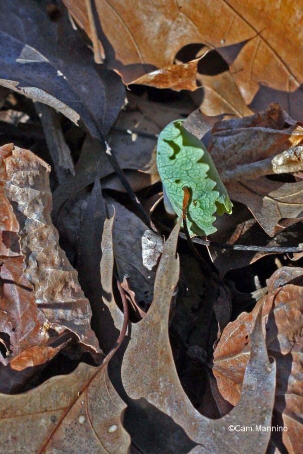 Bloodroot leaves emerging