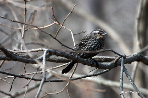 A female red-winged blackbird
