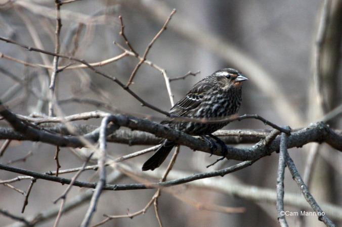 A female red-winged blackbird