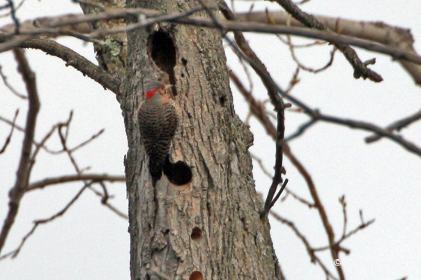 Northern Flicker drumming on a tree