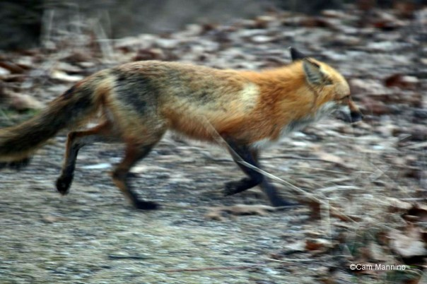 Red fox (Vulpes vulpes) on the run.