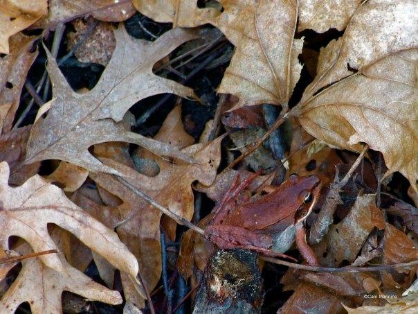 Frog in leaves