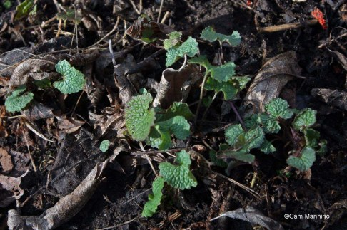 A second-year garlic mustard plant rosette early in the spring.