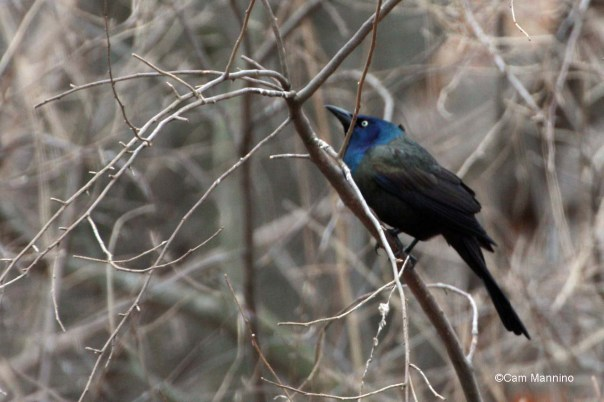 Common Grackle (Quiscalus quiscula) posturing.