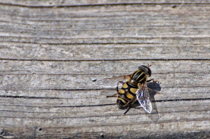 Hover fly, Helophilus trivittatus. If you're an entomologist and have a better guess at the ID, please let us know!