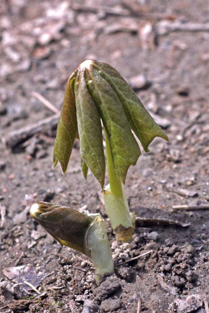 Mayapple leaves unfurl from the ground