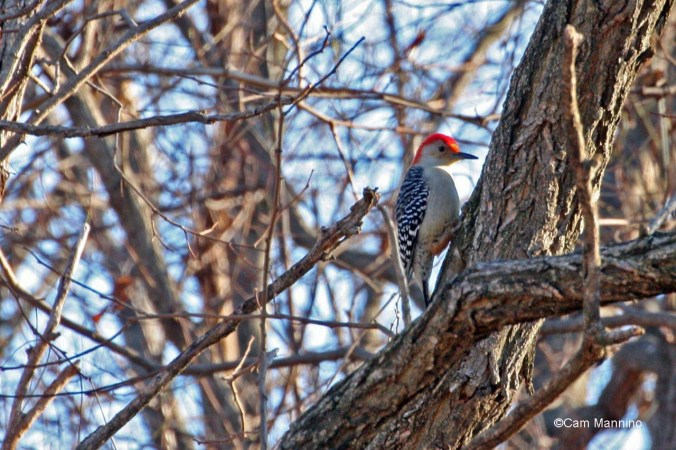 A red-bellied woodpecker perches on  a tree