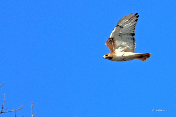 Red-tail Hawk in flight