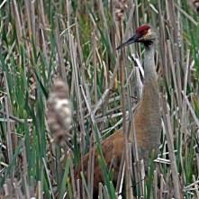 Sandhill Crane (Grus canadensis) at Bear Creek Marsh