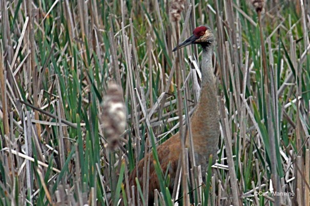 Sandhill Crane (Grus canadensis) at Bear Creek Marsh