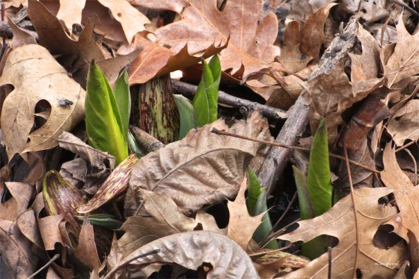 Skunk cabbage leaves poke through the leaves