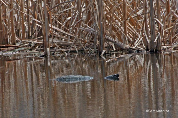 A snapping turtle swims with its head just above the water