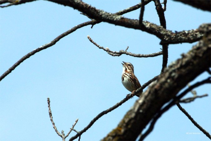 Song sparrow (Melospiza melodia) singing.